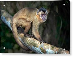 Brown Capuchin Monkey Cebus Apella Acrylic Print by Panoramic Images