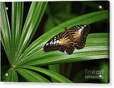 Brown Clipper Butterfly -parthenos Sylvia- On Frond Acrylic Print