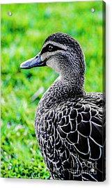 Brown Duck 1 Acrylic Print