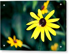 Brown Eyed Susan Acrylic Print by Jame Hayes
