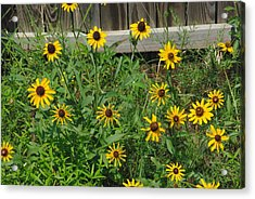 Brown Eyed Susans Acrylic Print by Robyn Stacey