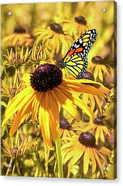 Brown Eyed Susens And The Monarch Acrylic Print by Diane Schuster