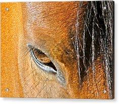 Brown-eyed Wild Horse Acrylic Print by Liz Vernand