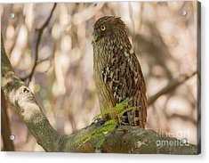 Brown Fish Owl, India Acrylic Print