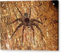 Brown Fishing Spider Acrylic Print by Joshua Bales