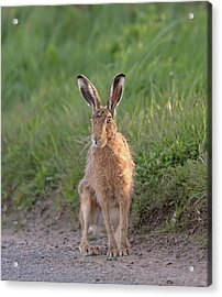 Brown Hare Sat On Track At Dawn Acrylic Print