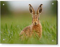 Brown Hare Stare Acrylic Print