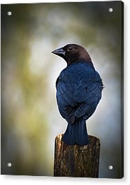 Brown-headed Cowbird Acrylic Print