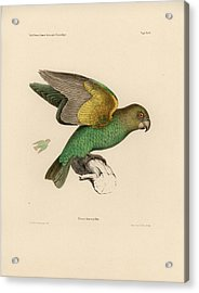 Brown-headed Parrot, Piocephalus Cryptoxanthus Acrylic Print