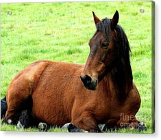 Brown Horse At Rest . R5906 Acrylic Print by Wingsdomain Art and Photography