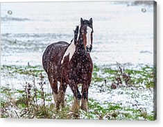 Brown Horse Galloping Through The Snow Acrylic Print