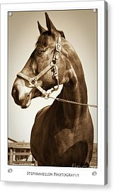 Brown Horse Acrylic Print by Stephanie Hayes