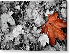 Brown Maple Leaf Acrylic Print