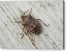 Brown Marmorated Stinkbug Acrylic Print by John Kaprielian