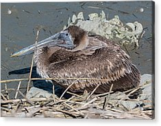 Acrylic Print featuring the photograph Brown Pelican 3 March 2018 by D K Wall