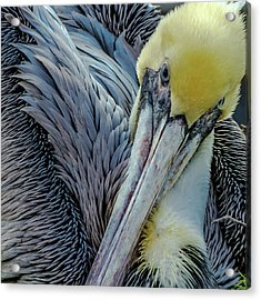 Brown Pelican Acrylic Print by Bill Gallagher