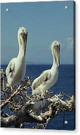 Brown Pelican Chicks In Nest  Acrylic Print
