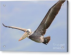 Brown Pelican Flying Acrylic Print by Wingsdomain Art and Photography