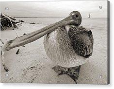 Brown Pelican Folly Beach Morris Island Lighthouse Close Up Acrylic Print