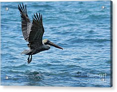 Brown Pelican In Flight Over Water Acrylic Print by Sami Sarkis