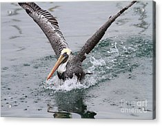 Brown Pelican Landing On Water . 7d8372 Acrylic Print by Wingsdomain Art and Photography