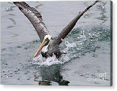 Brown Pelican Landing On Water . 7d8372 Acrylic Print