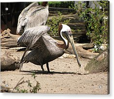Brown Pelican Acrylic Print by Martha Ayotte