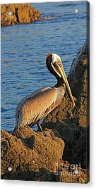 Acrylic Print featuring the photograph Brown  Pelican by Nicola Fiscarelli