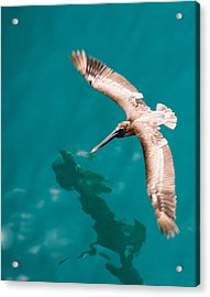 Brown Pelican Offshore Acrylic Print by Bill Perry
