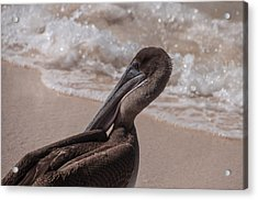 Brown Pelican On Las Bachas Beach Santa Cruz Indefatigable Island  Galapagos Islands Acrylic Print