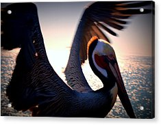 Brown Pelican Acrylic Print by Nature Macabre Photography