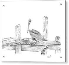 Brown Pelican Acrylic Print by Patricia Hiltz