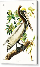 Brown Pelican Acrylic Print by Pg Reproductions