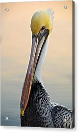 Brown Pelican Portrait Acrylic Print by Georgia Nick