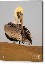 Brown Pelican Preening Feathers On Shifting Sands Acrylic Print by Max Allen