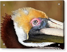 Brown Pelican Acrylic Print by Rose  Hill