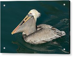 Acrylic Print featuring the photograph Brown Pelican With A Mouth Full by Bradford Martin