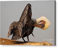 Brown Pelican With An Acrobatic Lean And Preen Acrylic Print by Max Allen