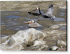 Brown Pelicans At La Jolla Cove Acrylic Print by Jan Cipolla