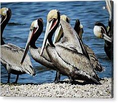 Brown Pelicans Preening Acrylic Print