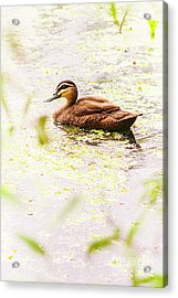 Brown Pond Duck Acrylic Print by Jorgo Photography - Wall Art Gallery