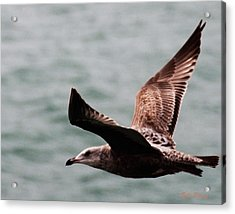 Brown Sea Gull Offshore Acrylic Print by Bill Perry