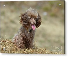 Brown Toy Poodle On Bail Of Hay Acrylic Print