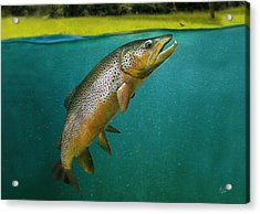 Brown Trout Acrylic Print by Anders Ovesen