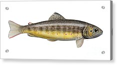 Brown Trout - Autochthonous - Indigenous - Salmo Trutta Morpha Fario - Salmo Trutta Fario Acrylic Print by Urft Valley Art