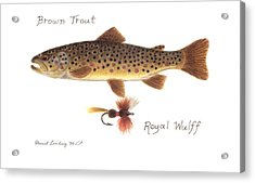 Brown Trout Acrylic Print