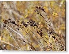 Brown Wildgrass Acrylic Print by Jean Booth