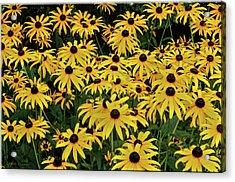 Browneyed Susans Acrylic Print