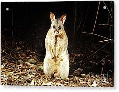 Brush-tailed Possum Acrylic Print
