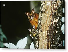 Brush-tailed Possum With Young Acrylic Print